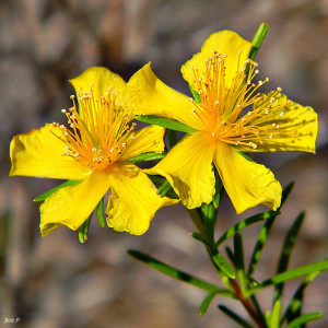 St. John's Wort, shown here, is a commonly marketed homeopathic drug. Photo credit: Bob Peterson. Used under the Creative Commons (CC BY 2.0)